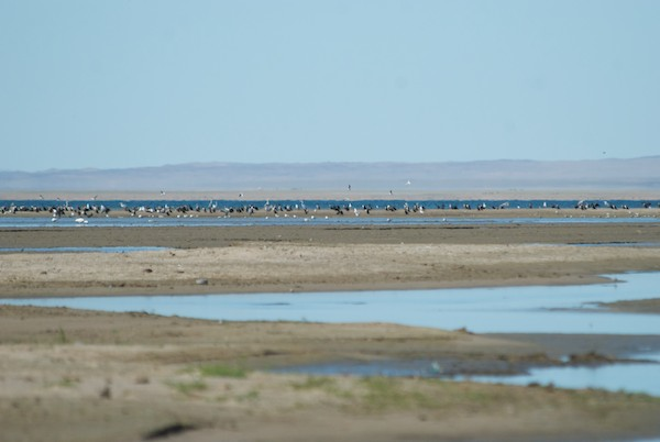 Once down on the lakeshore we saw, at a tantalizing distance this large group of birds on a sand bar