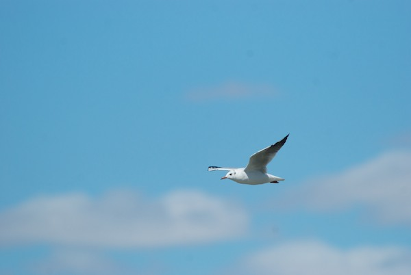 Black-headed gull, juvenile