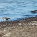 WAME 2013  Common sandpiper