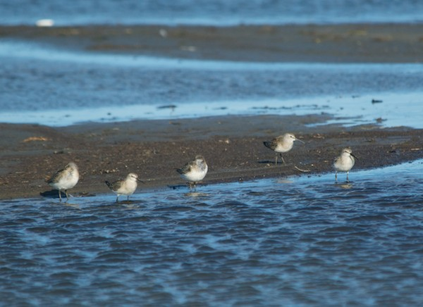 Curlew sandpipers, juveniles