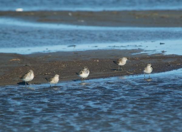 Curlew sandpipers, juveniles