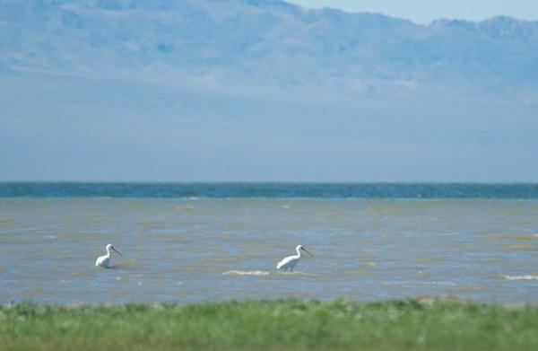 White or eurasian spoonbills