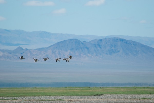 Wild greylag geese flew by at one point.