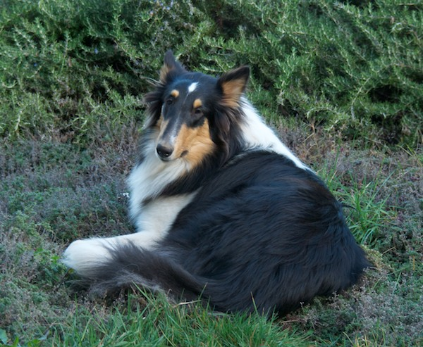 Hailey (Romany's Hadley)- our new 10 month old collie girl from Romany Collies