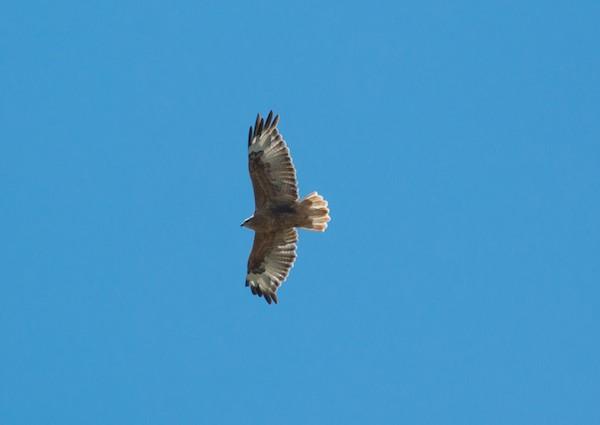 There was also a long-legged buzzard.