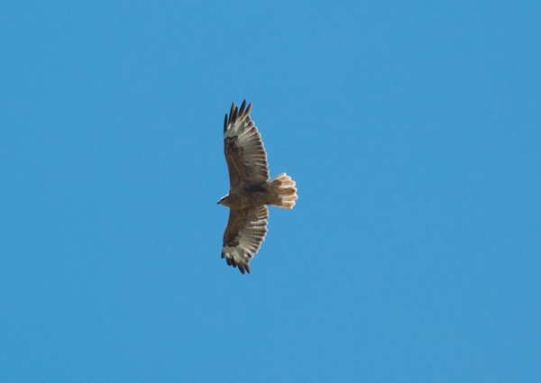 There was also a long-legged buzzard.
