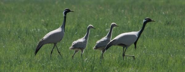 Demoiselle crane family