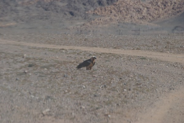 Leaving Bugat I suddenly saw a lammergeier/bearded vulture right by the road!