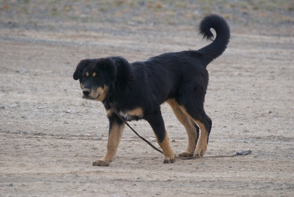 There was also a Mongol dog, which are called bankhar, hanging around.