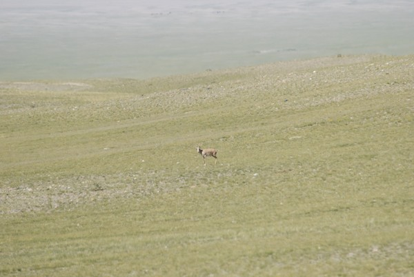 We came out of the pass onto this upland area and within a few minutes, oh my gosh, there was a male saiga antelope!