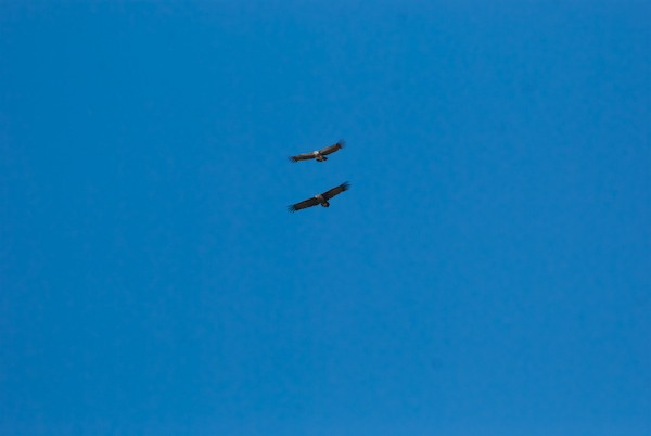 We spotted a number of vultures circling and it turned out to be two species, a smaller griffon vulture and the much larger eurasian black/cinereous vulture.