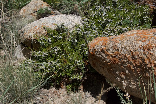 Juniper, a sacred plant to the Mongols, grew in profusion on the hillside