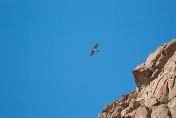 We had been told that there were Lammergeier/bearded vulture on the mountain and, sure enough, while we were sitting around, this one appeared over our heads.