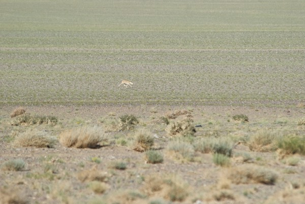 By the time we got to the soum center, we calculated that we had seen at least twenty saiga, far, far more than my wildest dreams. And did they put on a show. I've seen a lot of wild hoofed animals, but never a species that runs like these do.