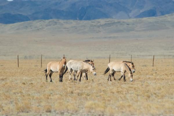 Four takhi mares