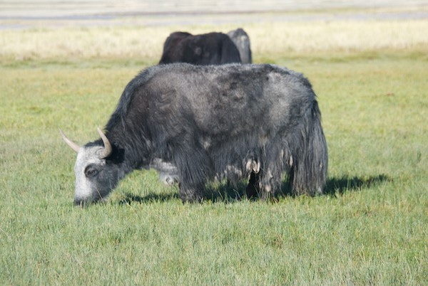 A herd of yaks grazed near our camp