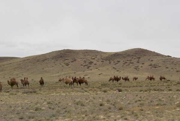 The last camels we saw on the Expedition.