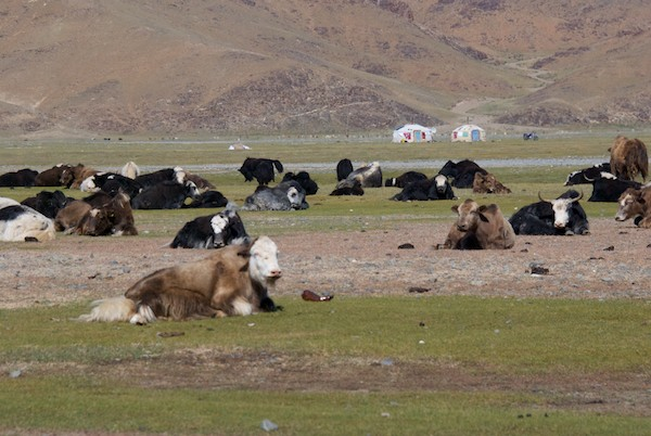 On our way back south to Bayanhongor from Ganchen Lama Khiid, we saw lots of yaks.