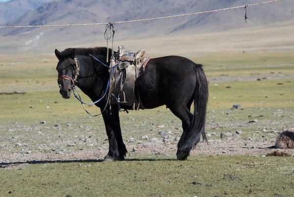 We stopped at one last herder's ger and, along with a very nice Land Cruiser, there was also this equally nice Mongol horse, ready to ride.