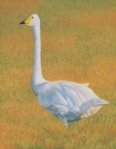 """Late Light (Whooping Swan) oil 14x11"""""""
