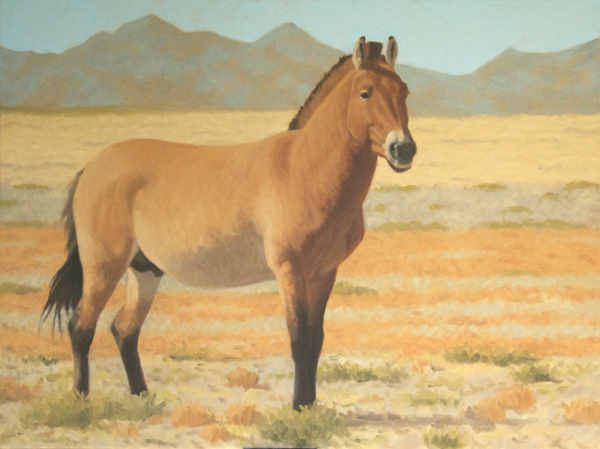 """Takhiin Tal Staliion oil 18x24"""" one of the dozen paintings I'll be showing during the WildArt Mongolia Expedition group art exhibition"""