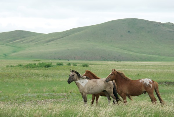 Gratuitous photo of Mongol horses.