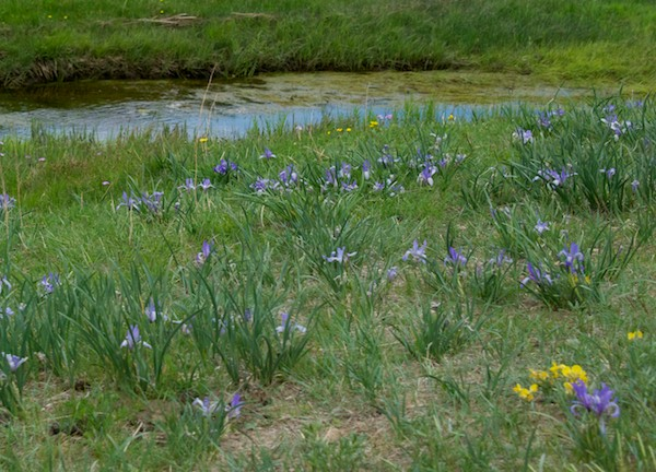 Wild iris growing by the river.