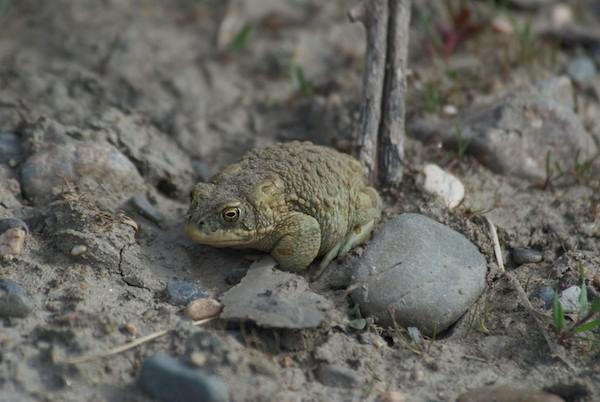 Mongolian toad