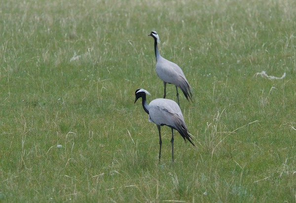 We stopped for lunch and almost immediately spotted this pair of demoiselle cranes!