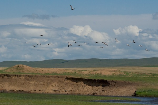 As we drove on, we saw this large flock of demoiselle cranes.
