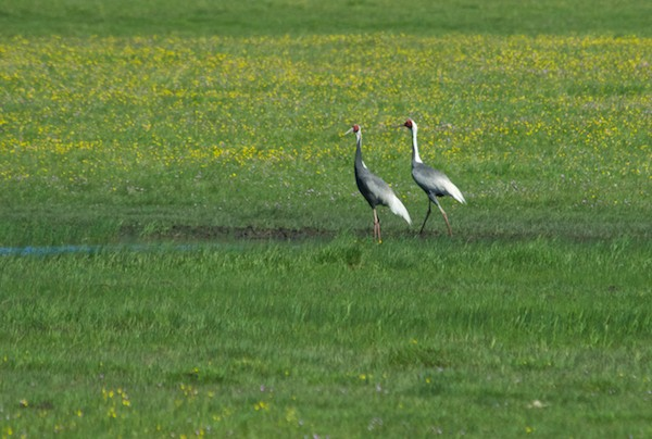 Along the way we saw the pair of endangered white-napped cranes.
