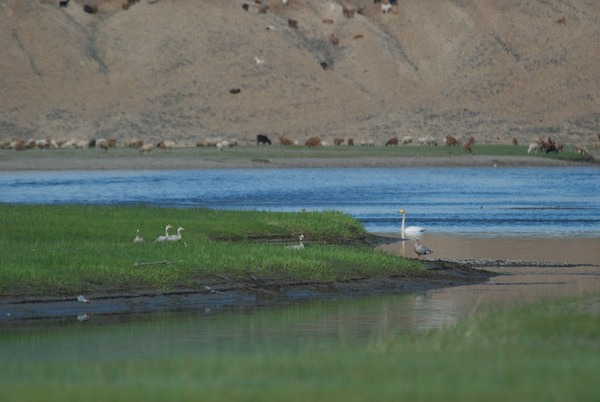 This was a special sighting along the river....an endangered whooper swan and a family of bar-headed geese.