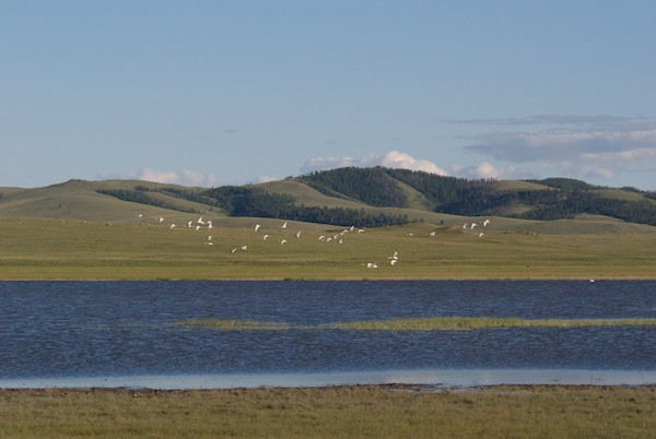 We immediately saw many white shapes, which proved to be over 60 whooper swans.