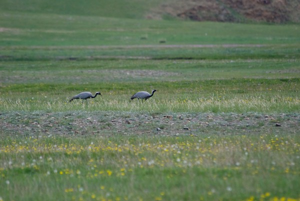 We also saw a pair of demoiselle cranes, one of the species on our list.