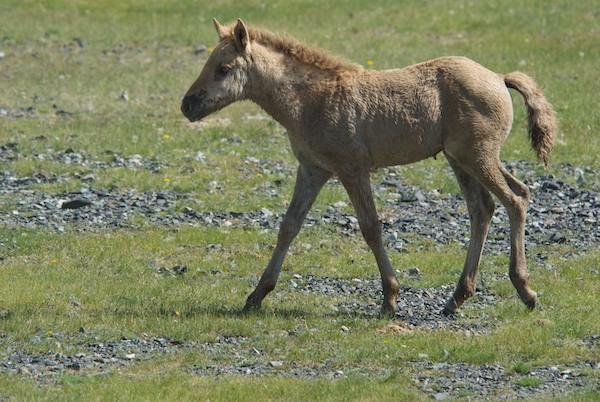 Mongol horse foal.
