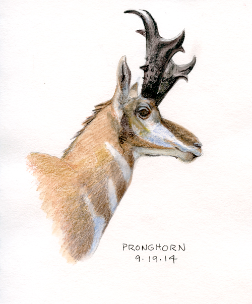 Pronghorn from taxidermy mount
