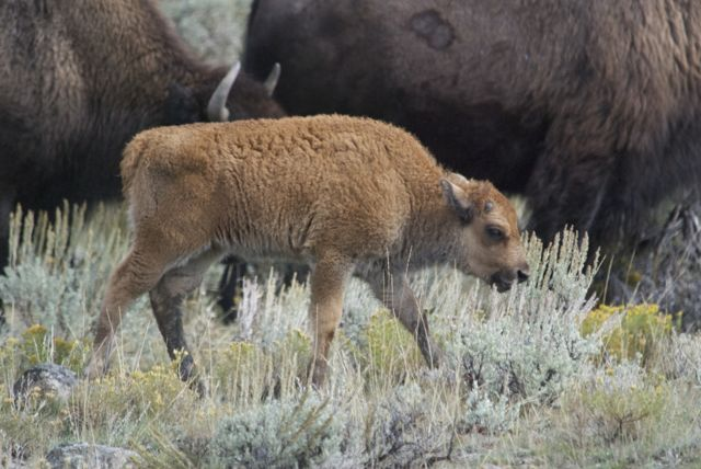 Young bison calf born very late, but I've been told even these little ones are tough enough to survive the winters.