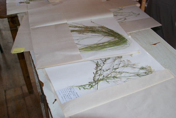 Batmunkh showed us part of a large collection of botanical specimens.