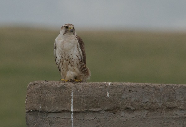Saker falcon, an endangered species, perched right near the road.