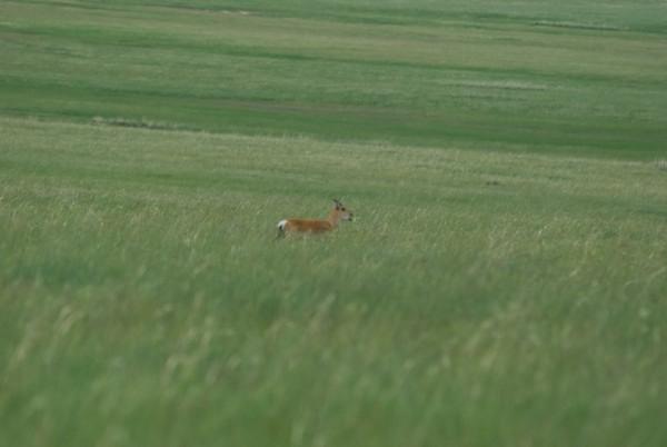 Then we saw this single gazelle