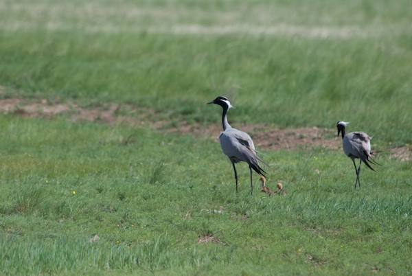 We stopped for a break and were treated to one more crane sighting! A pair of demoiselles with two chicks.