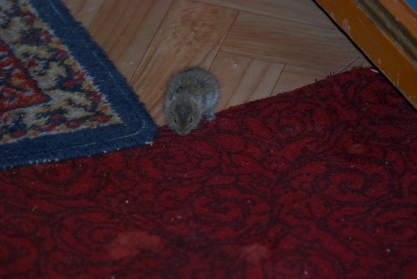 I had a little visitor who was plucking loose pile from the carpet for its nest. Species unknown.