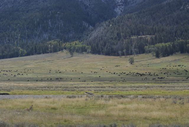 "The Lamar Valley is known as the ""Serengeti of North America"" because it's where you can see scenes like this....a very big herd of bison moving through"