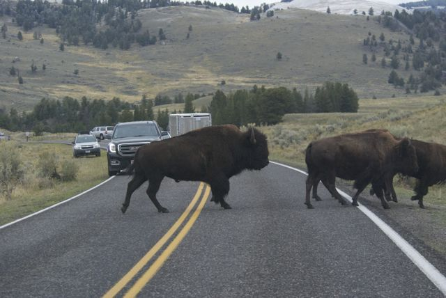 "One of the famous Yellowstone ""bison jams""."