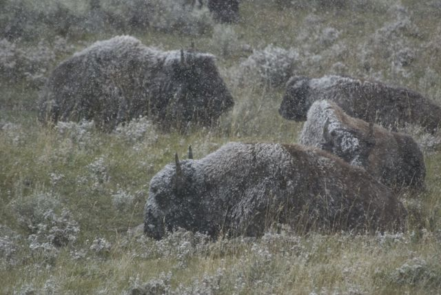"The third day I was there a snowstorm came through I was in the area known at ""Little America"", just to the west of the Lamar Valley, when, right next to a pullout in a hollow was this small group of bison, hunkered down and waiting it out."