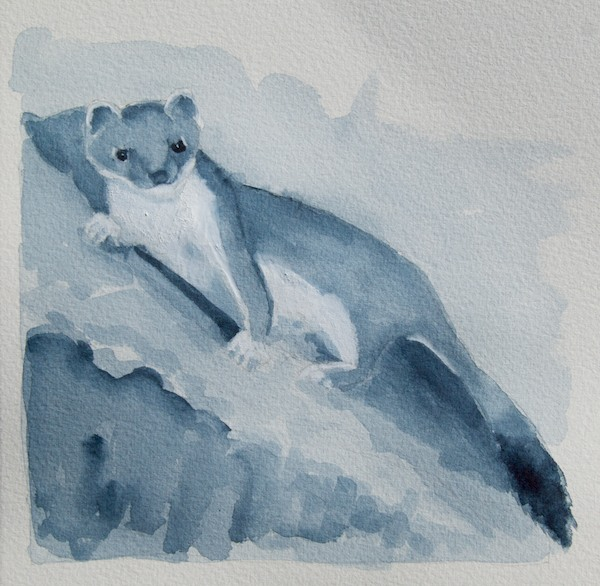 Short-tailed weasel or stoat