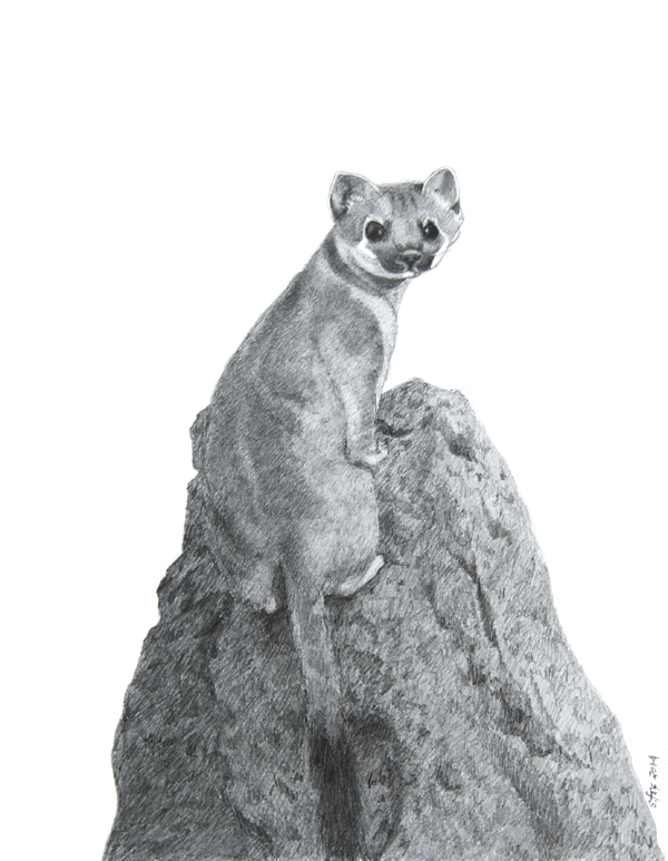 Short-tailed-Weasel