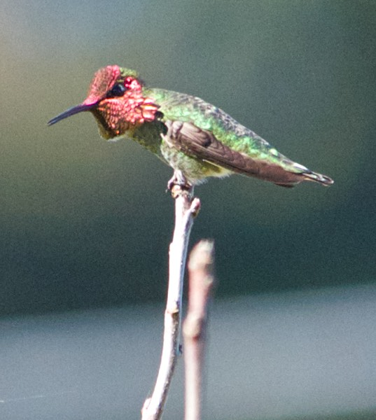 Male Anna's Hummingbird telling me who owns the place
