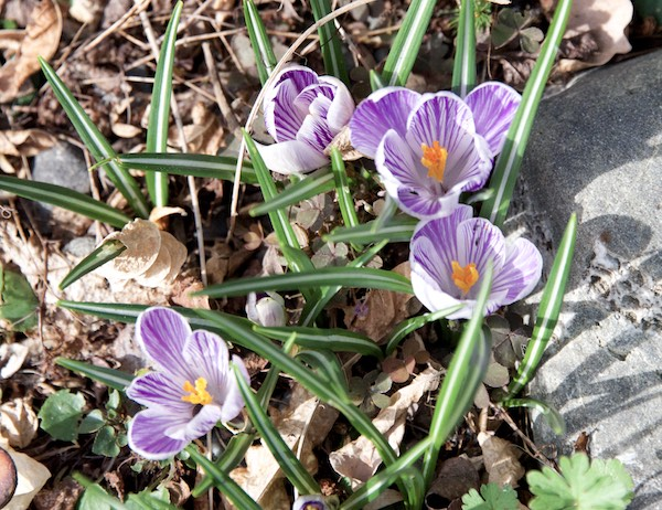 "Crocus ""Pickwick"" my favorite"
