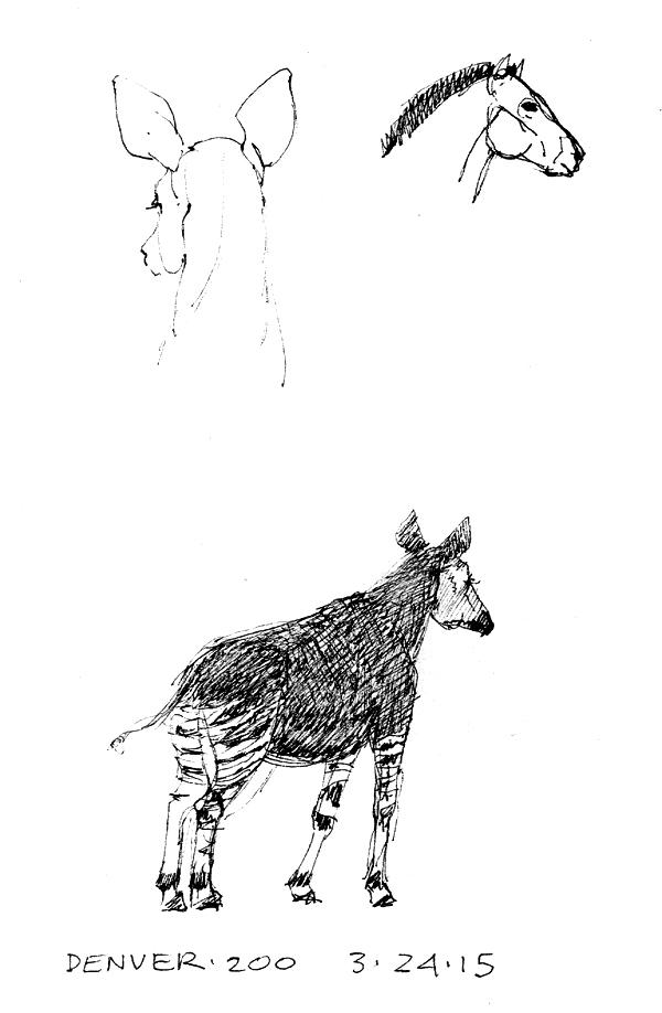 Okapi back of head, takhi/Przewalski's horse, okapi